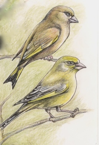 Male and female Greenfinch