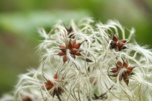 Clematis Tangutica or orange peel clematis seedheads