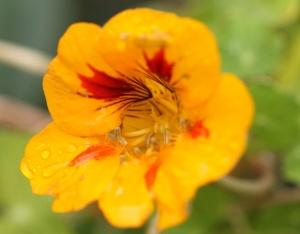 Nasturtium still flowering