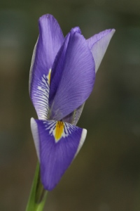 Winter Iris (Iris unguicularis)
