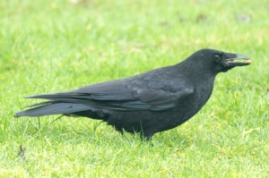 A Carrion Crow