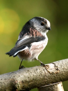 Long tailed tits- otherwise known as bum barrels!