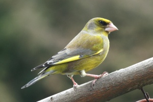 The male Greenfinch