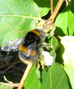 Bumblebee feeding on Winter Honeysuckle