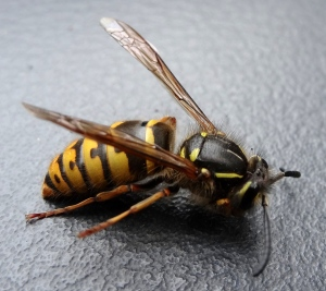 Queen Wasp, waking from hibernation indoors