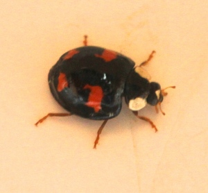 Harlequin Ladybird , showing their definitive brown legs.