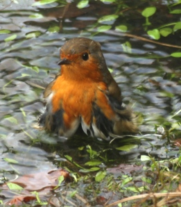 Robin enjoying a wash