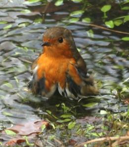 Robin enjoying a wash