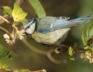 Blue Tit feeding on Winter Honeysuckle nectar