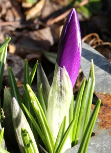 Purple Crocus, later than the yellow, are well out now.