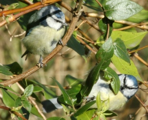 A pair of Blue Tits spending increasing time together.