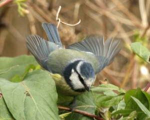 Male Blue Tit displaying