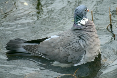 A Wood Pigeon taking a dip.