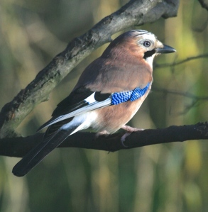 A Jay showing it's brilliant blue wing flash and black moustache