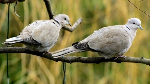 A pair of Collared Doves. Males can have a slightly pink hue to their chests.