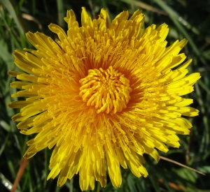 Dandelion, now out, have nectar guides invisible to humans