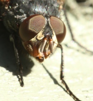 Close-up of the eyes of a House Fly