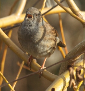 Dunnock singing -part of it's mating behaviour