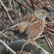 Dunnock- fast wing-fluttering is part of their  mating behaviour