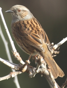 Dunnock- 1 of 3 regularly displaying