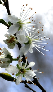 Blackthorn Blossom showing its long stamens