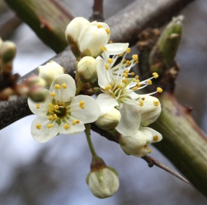 Blackthorn Blossom and thorny twig.