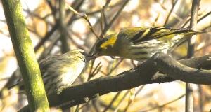 Male adult Siskin feeding female adult