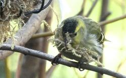 Siskin gathering nesting material