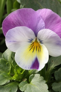 Cultivated Viola with Nectar Guides visible.