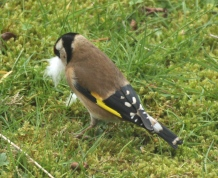 Female Goldfinch, showing the beautiful black and white wing-markings.