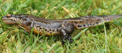 Smooth Newt, showing it's dark spots and yellow/orange belly.