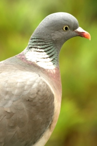 For comparison, the head of a Wood Pigeon