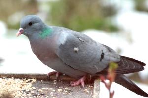 A Stock Dove