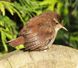 This Wren had just washed in the pond and was drying off on a bench.