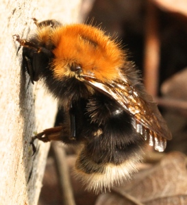 Queen Bumblebee holding on tight by it's claws while it grooms its body