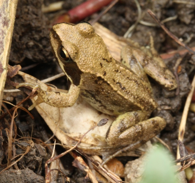 Froglet in the garden