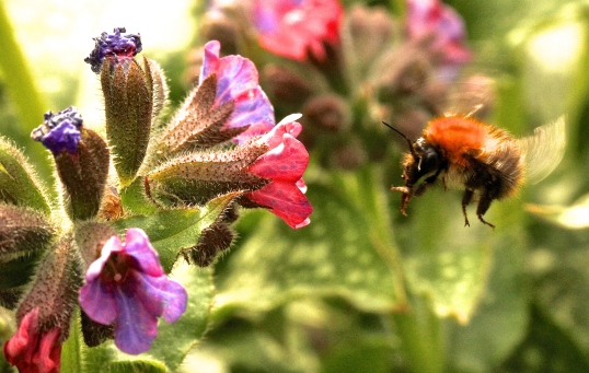 Carder Bumblebee, showing its long tongue, capable of feeding on tubular flowers such as sage and lavender.