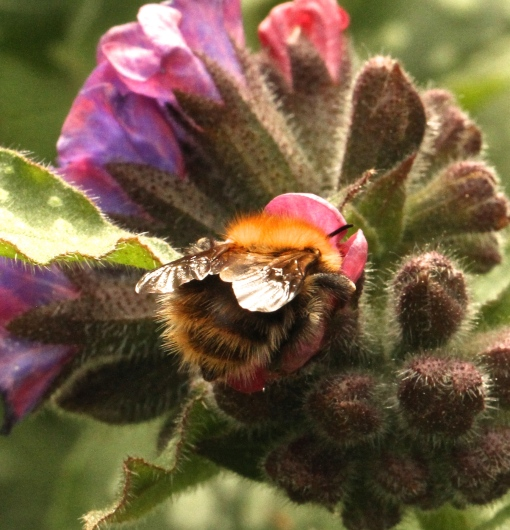 Carder Bumblebee- this one, feeding on Pulmonaria, has a stripy abdomen