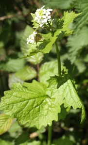Jack By The Hedge, or Garlic Mustard, edible as a garlic substitute and a favourite food plant for Orange Tip Butterflies.
