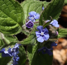 Alkanet, the roots are a source of purple dye