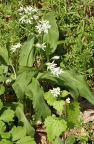 Both Wild Garlics together: Ramsons, and Jack By The Hedge or Garlic Mustard
