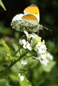 Male Orange Tip feeding on Jack by the Hedge today (Garlic Mustard)