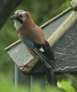 The Jay, a frequent visitor to the garden again.