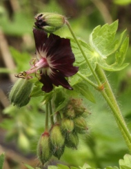 Dusky Cranesbill- the deep plum coloured native form
