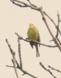A further fuzzy photo of a Yellowhammer- it was a long way away!