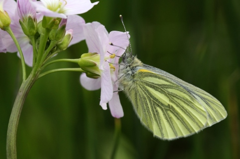 Green-veined White Butterfly feeding on Ladies Smock.