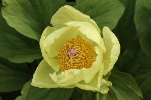 Molly the Witch Paeony in full flower.