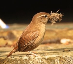 One of the par of Wrens still taking moss to their nest in the bird-box.