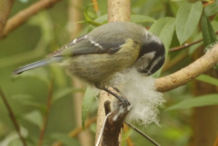And Tits are still lining their nest- this Blue Tit may be colllecting down to cover it's eggs.
