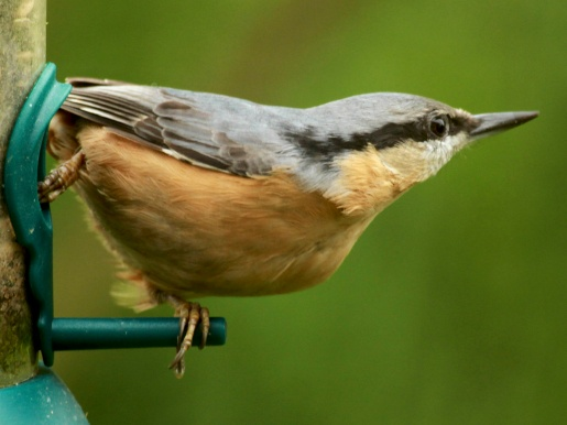 The Nuthatch is back on the feeders too.